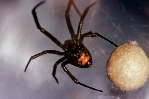 black widow spider bite pictures. Black Widow Spider