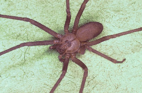 brown recluse spider bite pictures. Brown Recluse Spider